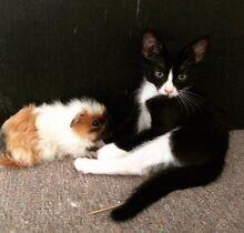 Beautiful black cat Tamborine Ipswich South Preview