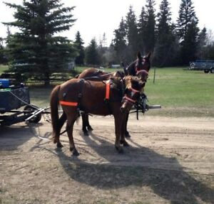 12 yr old Pony/Quarter horse gelding broke to ride & drive