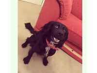 Cocker spaniel age 4 colour black, loves attention some training needed family friendly dog