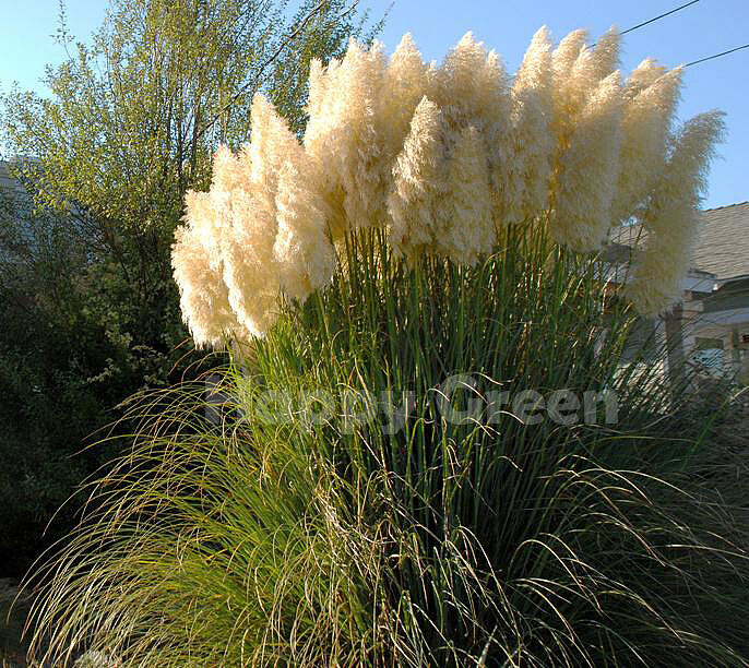 pampas grass white feather 200 seeds cortaderia. Black Bedroom Furniture Sets. Home Design Ideas