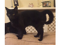 Missing Black Cat Kilburn area