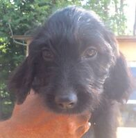 REDUCED!  Labradoodle puppies medium -low shed