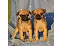 Black and Tan carrier pugs