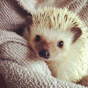 Looking for a baby or young hedgehog