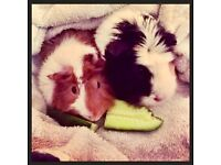 Two female guinea pigs with two tier cage and accessories