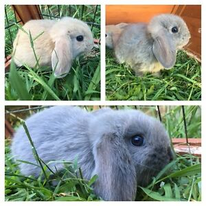 Mini lop ear bunnies! Only 3 left! Blue, grey & sandy colours Tumbulgum Tweed Heads Area Preview