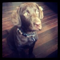 2 and a half year old chocolate lab