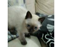 Female Ragdoll Kitten