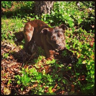 Female Desexed Microchipped Staffy Hawker Belconnen Area Preview