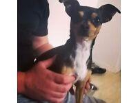 Male Chihuahua x
