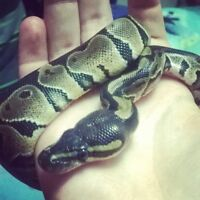 Young Ball Python For Sale, Tank Included.