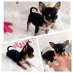 Wanted Teacup Chihuahua Puppy