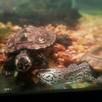 2 Diamondback Terrapins with tank, filter, stand for tank if wan