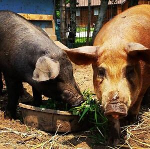Looking for 2 X-breed feeder pigs for p/u May 2017