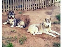 2 beautiful husky to go togther