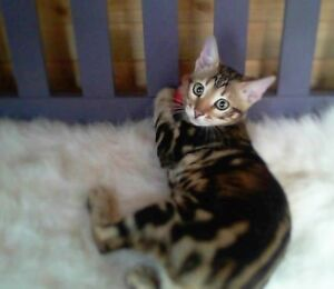Exquisite Registered Marble Spayed Bengal Sisters