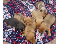 Pra clear kc registered miniature smooth dachshunds