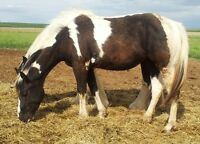 Horse: Tobiano Black/ White Paint Filly Sale