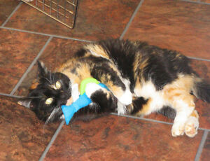 Calico Cat Missing in Georgetown Road Area
