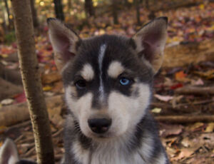 Chiots Husky puppies
