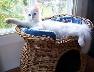 White Kitten Blue Eyes Female Male Still Available