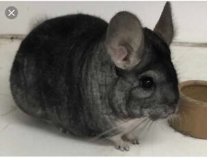 Male  chinchilla for sale