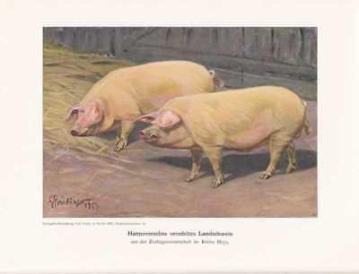 Hannoversches Landschwein Farbdruck von 1925 Reprin