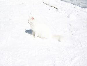 Male White Cat
