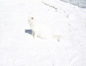 Male White Cat