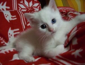 White Kitten Blue Eyes Still Available Updated Pictures