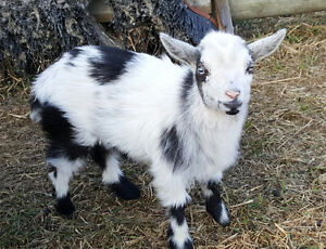 Nigerian Dwarf and Fainting Goats