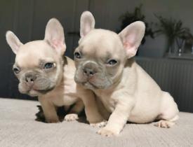 Stunning male french bulldog pups