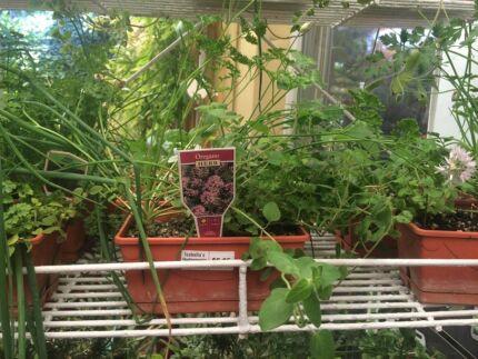 Mix herbs in fancy pot Wanneroo Wanneroo Area Preview