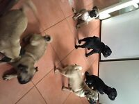 5 stunning pug puppies ready to leave