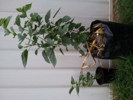 Black Mulberry Trees Schofields Blacktown Area Preview