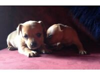 Jack-a-pin pups for sale
