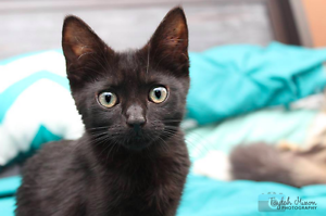 Brian rescue KITTEN to adopt VET WORK INC Bayswater Bayswater Area Preview