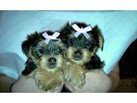 Yorkshire Terrier Puppies.