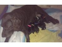 Superb quality Labradoodle puppies