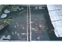 "White Koi Carp Pond Fish for sale - approximately 4-8"" long - £5 each"