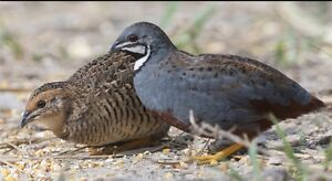 King Quails *WANTED* breeding trio. Rouse Hill The Hills District Preview
