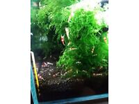 Crystal red shrimps for sale ( no RO water)