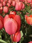 tulipcrystal