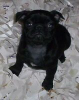 Pug Puppies! Blacks and Fawns!