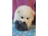 Beautiful Japanese Spitz Puppies