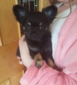 Beautiful Pure Bred Pedigree KC registered Long Haired Chihuahua Puppy. VERY small.