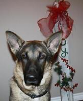 "Young Male Dog - German Shepherd Dog: ""Rocco"""