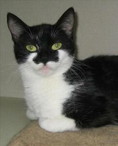 "Young Female Cat - Domestic Short Hair: ""Smudge"""