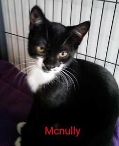 "Young Male Cat - Domestic Short Hair: ""Mcnully"""