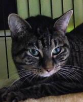 """Young Female Cat - Tabby - Brown: """"Mystique"""""""